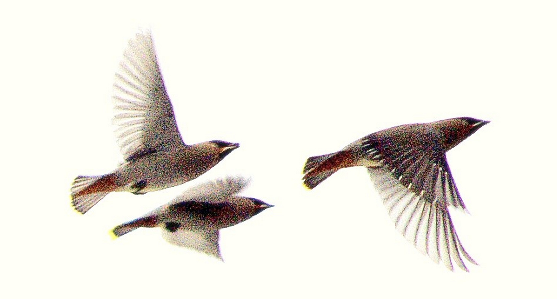 Flight of Bohemian Waxwings